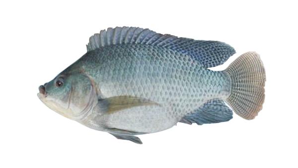 开背罗非鱼