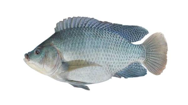 开背裸斑鱼